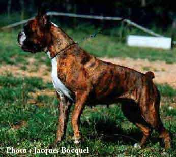chien boxer prix