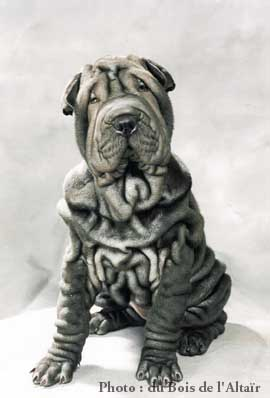 club de race sharpei